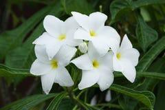 Weißes Blumen der Natur Lizenzfreies Stockfoto
