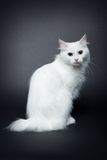 Weißes bobtail Kätzchen auf dunklem Hintergrund Stockfotos
