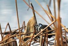 Weißes-breasted Waterhen Stockfoto