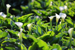 Weißes Calla-Lilienblühen Lizenzfreie Stockfotografie