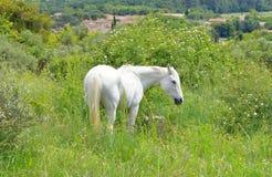 Weißes camargue Pferd lizenzfreie stockbilder