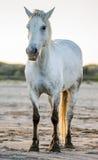 Weißes Camargue-Pferd, das auf Sand steht Parc Regional de Camargue frankreich Provence Stockfotografie