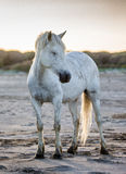 Weißes Camargue-Pferd, das auf Sand steht Parc Regional de Camargue frankreich Provence Lizenzfreie Stockfotos
