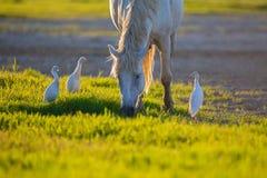 Weißes camargue Pferd und drei Vieh erget durch die Lagune Stockfotografie