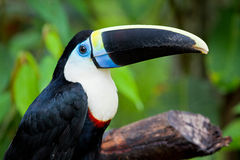 Weißes chested toucan Stockfoto