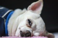 Weißes Chihuahuawelpenschlafen stockfoto