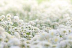 Weißes Chrysanthemenblumenfeld stockfotos
