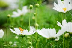 Weißes cosmo mit kleinem gelbem Schmetterling im Park unter einem schönen Tag im Unschärfehintergrund Stockfotos