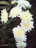 Weißes crisant Stockbild