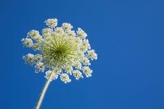 Weißes Dillblumenkraut am Hintergrund des blauen Himmels, Nahaufnahme Lizenzfreie Stockbilder
