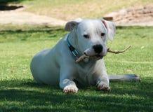 Weißes dogo argentino mit Stock im Mund, der auf grünem Gras sitzt stockbild