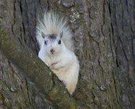 Weißes Eichhörnchen 4 Stockfotografie