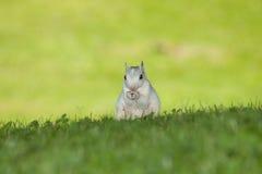 Weißes Eichhörnchen auf grünem Hügel Lizenzfreies Stockfoto