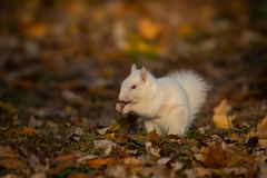 Weißes Eichhörnchen im Wald lizenzfreie stockbilder