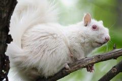 Weißes Eichhörnchen - seitliches Vew Lizenzfreie Stockbilder