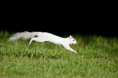 Weißes Eichhörnchenspringen Lizenzfreie Stockfotos