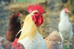 Weißes ein Hahn-Aufpassen und Hennen stockbilder