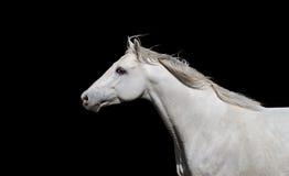 Weißes englisches vollblütiges Pferd auf einem schwarzen Hintergrund Stockfoto