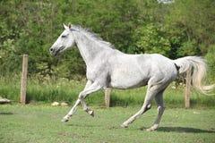 Weißes englisches vollblütiges Pferd, das in Koppel läuft Stockfoto