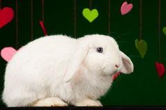Weißes flaumiges Kaninchen mit Valentinsgrüßen Stockfotografie