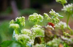 Weißes flowers†‹and†‹ein red†‹insect†‹ Stockbild