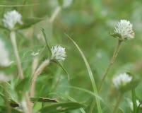 Weißes folwer Gras auf der Wiese stockfotos
