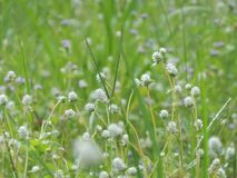 Weißes folwer Gras auf der Wiese lizenzfreies stockfoto