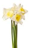 Weißes Frühlings-Narzissen-Blumen-Bündel Lizenzfreies Stockbild