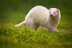 Weißes Frettchen Stockbild