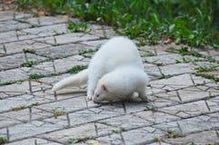 Weißes Frettchen lizenzfreie stockfotografie