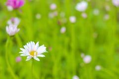 Weißes Gänseblümchen Stockfotografie
