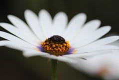 Weißes Gänseblümchen lizenzfreies stockfoto