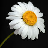 Weißes Gänseblümchen Lizenzfreies Stockbild