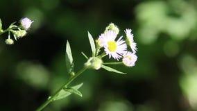 Weißes Gänseblümchen stock footage