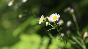 Weißes Gänseblümchen stock video footage