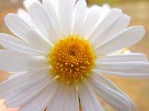 Weißes Gänseblümchen Lizenzfreie Stockfotografie