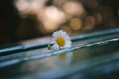 Weißes Gänseblümchen auf der Holzbank Stockbilder