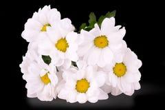 Weißes Gänseblümchen auf einem schwarzen Hintergrund Lizenzfreies Stockbild