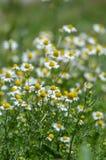 Weißes Gänseblümchen auf grünem Feld stockfotos