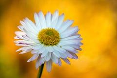 Weißes Gänseblümchen auf orange Hintergrund Lizenzfreies Stockfoto