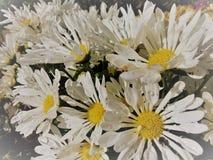 Weißes Gänseblümchen blüht morgens Stockfotografie