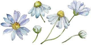 Weißes Gänseblümchen Botanische mit Blumenblume Wilder Federblatt Wildflower lokalisiert vektor abbildung
