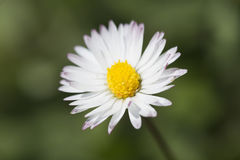 weißes Gänseblümchen 361/5000Common nah oben fotografiert Lizenzfreies Stockbild