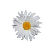 Weißes Gänseblümchen getrennt Stockfotografie