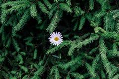 Weißes Gänseblümchen im Wald auf dem Hintergrund von grünen Niederlassungen der Fichte Schöner natürlicher Hintergrund mit freiem stockbilder