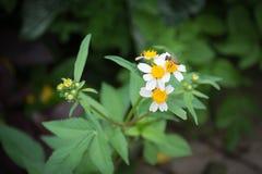Weißes Gänseblümchen mit Biene Lizenzfreies Stockfoto