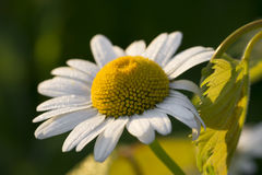 Weißes Gänseblümchen mit Morgentau Lizenzfreies Stockbild