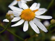 Weißes Gänseblümchen mit Tau auf Blättern Stockfotografie