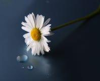 Weißes Gänseblümchen mit Wassertropfen auf einem dunklen Hintergrund. Stockfoto