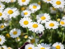 Weißes Gänseblümchen oder Bellis perennis Lizenzfreie Stockfotografie